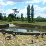 Descendientes de los patos borbónicos