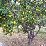 Naranjas sollericas, tardías, muy dulces y de una forma especial